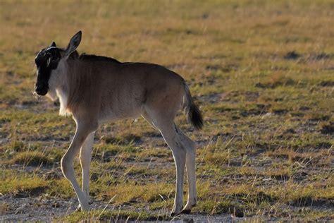 baby wildebeest kenya day 3 amboseli national park part time traveler