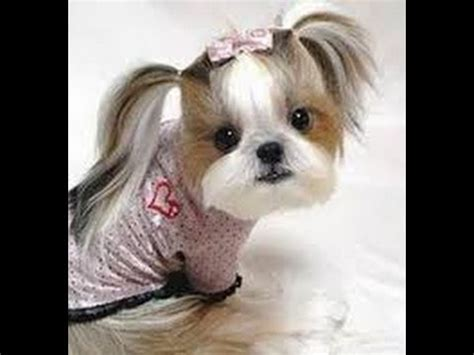 puppy haircuts quot puppy haircuts quot pictures of hairstyles
