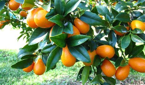 Tanaman Jeruk Nagami Bundar 1 8 macam tanaman hias beserta contoh dan penjelasannya