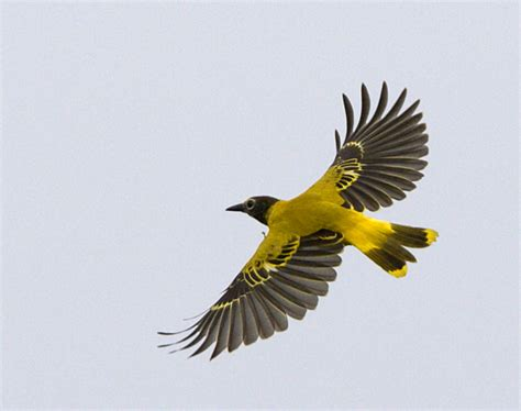 black hooded oriole photo carl johan svensson photos at