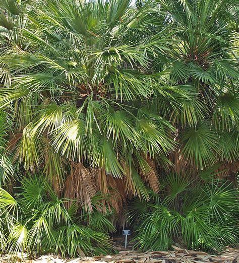 chamaerops humilis mediterranean fan palm plants flowers 187 european fan palm