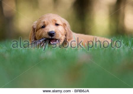 golden retriever bad habits golden retriever puppy chewing on a pumpkin stock photo royalty free image 41285076