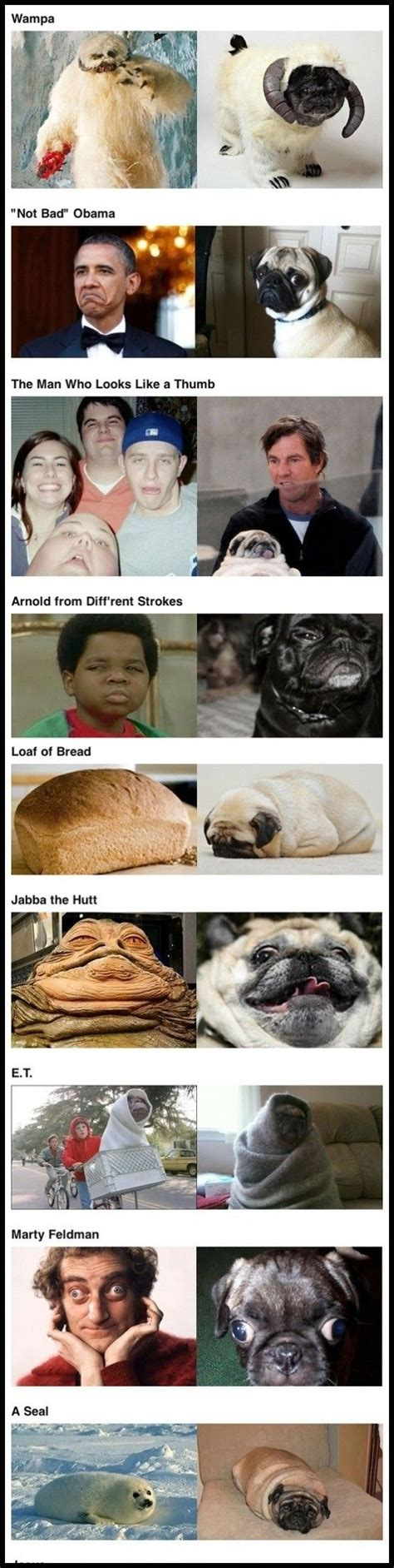pug look alike 28 curated look alike ideas by kelseysmith49er pictures real and