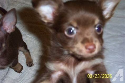 chocolate chihuahua puppies pin chihuahua puppy 400 usd on