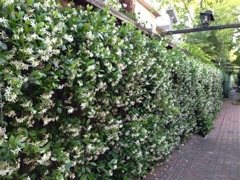 vining house plant that is trained to cover the ceiling wall of star jasmine plant near windows so the fragrance