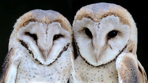 two white owls