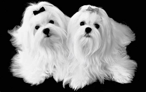 maltese pictures 14 haired maltese dogs wallpapers morewallpapers