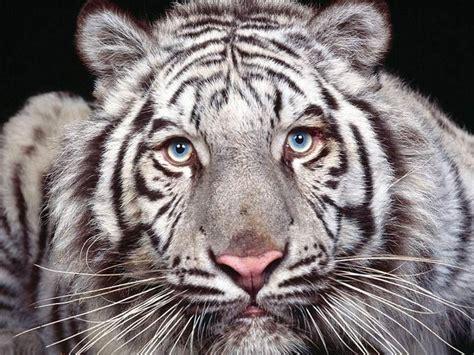 imagenes tigre blanco bengala im 225 genes de tigres de bengala taringa