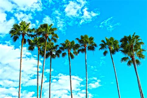 tropical palm trees free photo palm trees florida tropical sky free