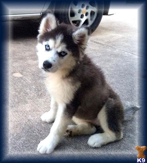 husky puppies for sale tx document moved