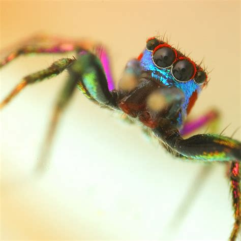 Jumper Bearish jumping spiders of the world project noah