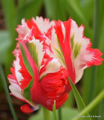 Anting Earing Bird Tulip Flower Bunga Tulip 17 best images about gardens tulips on green bud and tulip