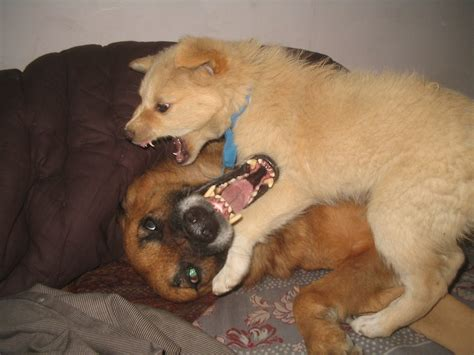 two dogs file two dogs seems like fighting but are not jan 2008 in jalandhar punjab india