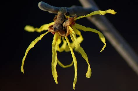 witch hazel shrubs or trees earliest blooming plants
