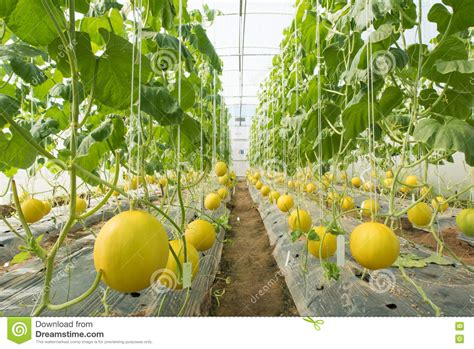 Plantation De Melon by Melon Farming Melon Plantation In The High Tunnels
