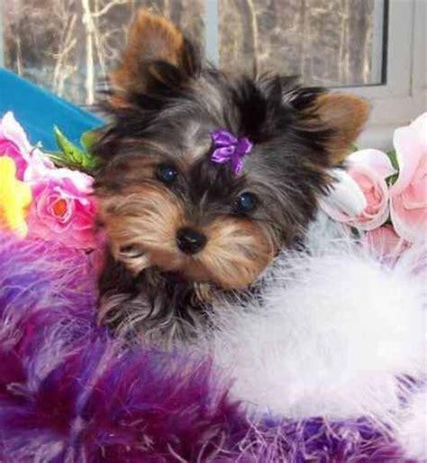 pretty yorkie puppies pretty yorkie puppy warm fuzzies yorkie puppy yorkie and puppys