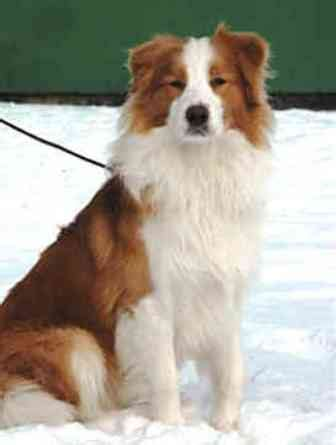 golden retriever cross border collie puppies for sale border collie golden retriever mix history