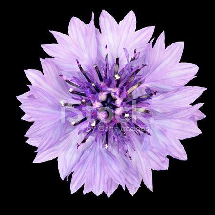 fiordaliso fiore foto fiordaliso viola fiore isolato su sfondo nero fotografie
