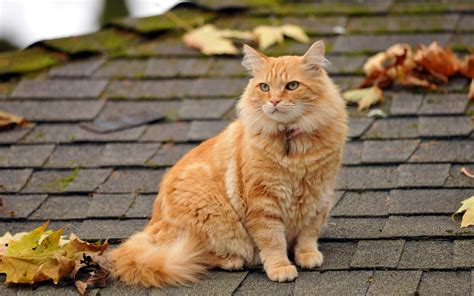 cat sitting on the roof wallpapers and images