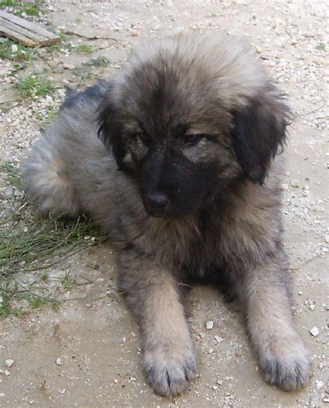 sarplaninac puppy caucasian ovcharka breeders puppies caucasian ovcharka