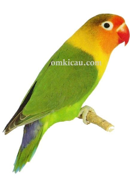 Desain Gambar Lovebird | gambar sangkar burung branjangan blog images