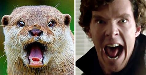 Cumberbatch Otter Meme - undeniable proof that benedict cumberbatch is definitely