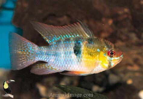 freshwater ram 13 best images about community aquarium on