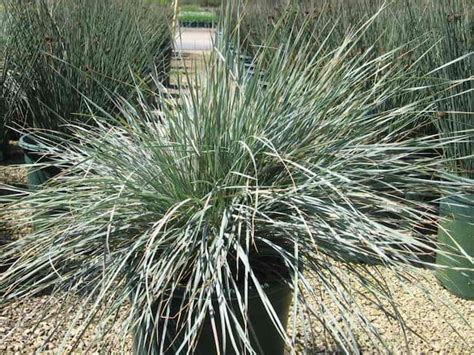 growing ornamental grass in containers gardenoid