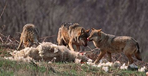 do wolves lose sleep the idealism of sheep power