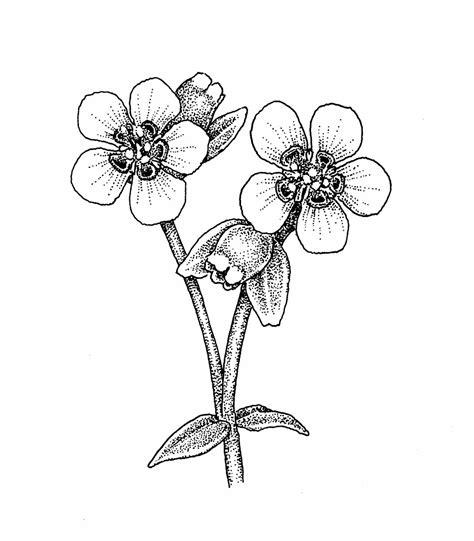euphorbia corollata flowering spurge go botany