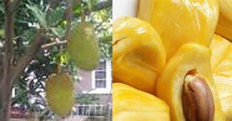 akhirnya tau buah biji nangka cempedak bisa jadi beraneka ragam olahan