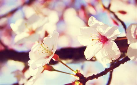 imagenes para fondos de pantalla flores fondo de pantalla flores blancas imagenes y wallpapers