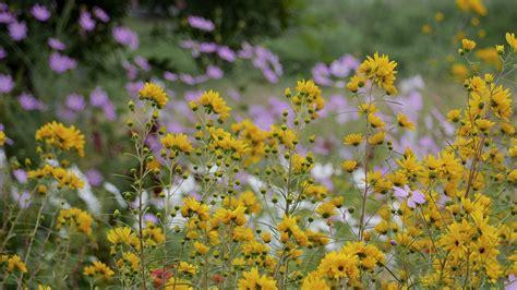 foto fiori gialli sfondi natura fiori gialli giallo fiorire erba