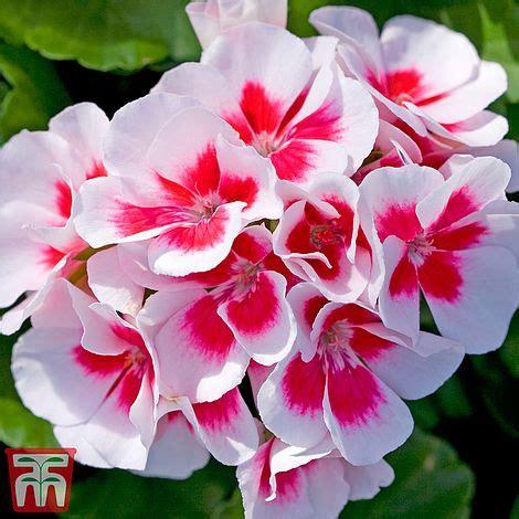 geranium flower fairy white splash plug plants