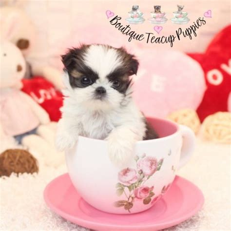 teacup shih tzu puppies houston micro shih tzu puppies boutique teacup puppies