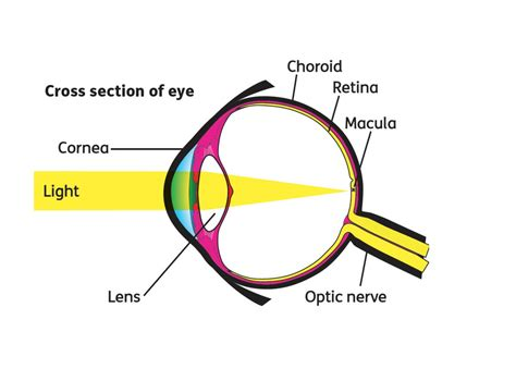 cross section of eyeball what is the macular what the macular does