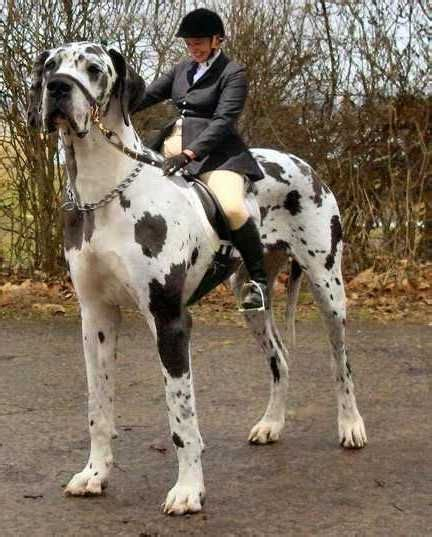 heaviest breed world s largest breeds top 10pet photos gallery pet animal crafts
