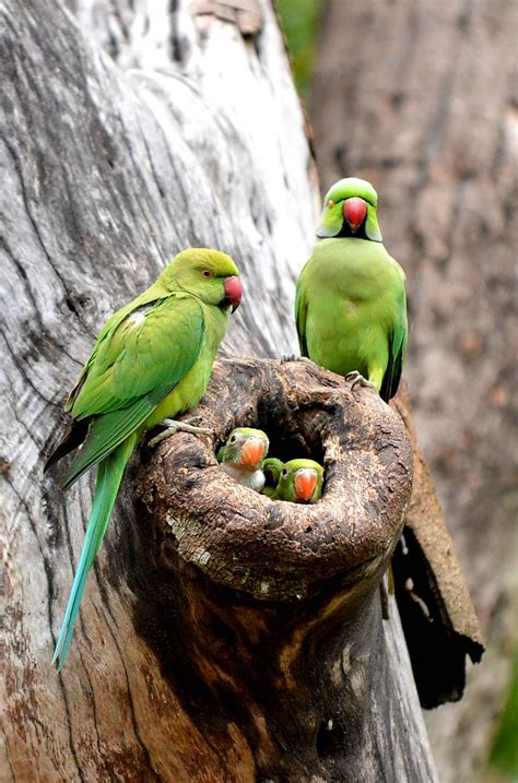 parrot parents and their nest of babies colombo sri