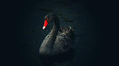 themes in black swan free black swan chromebook wallpaper ready for download