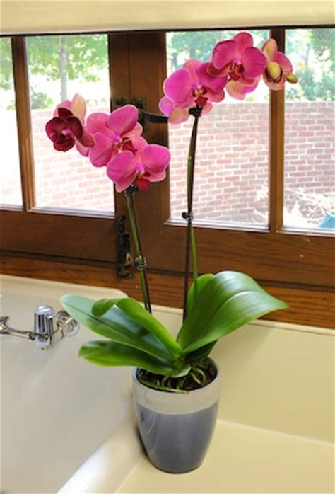 a quick fertilizing guide to maintain your orchid s health
