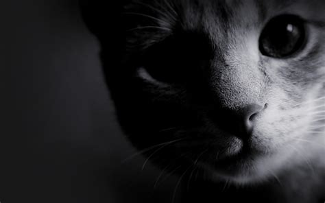 wallpaper cat black and white cat close up monochrome desktop and mobile wallpaper