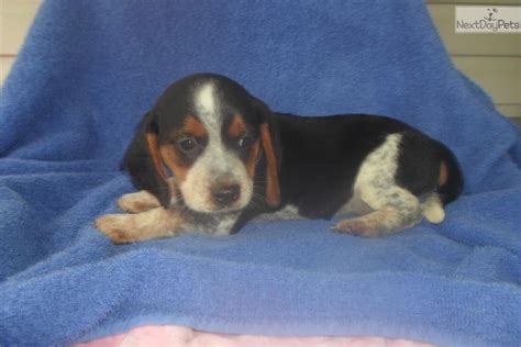 blue tick beagle puppies for sale near me beagle puppy for sale near ocala florida 4b5a4795 8b21