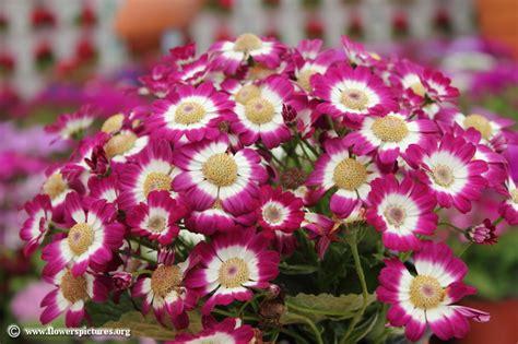 image for flowers cineraria cruenta picture 9