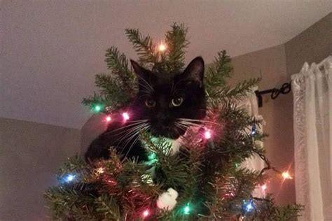 oh cat mas tree a frustrating christmas tail local