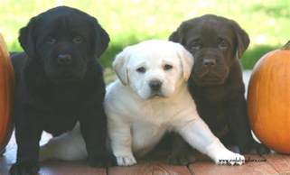 color labs a lesson in labrador coat color inheritance endless