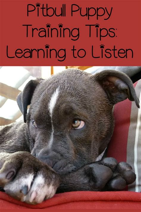 pitbull puppy tips pitbull puppy tips learning to listen