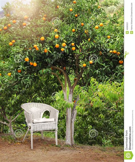 patio orange tree white wicker chair orange fruit tree stock image
