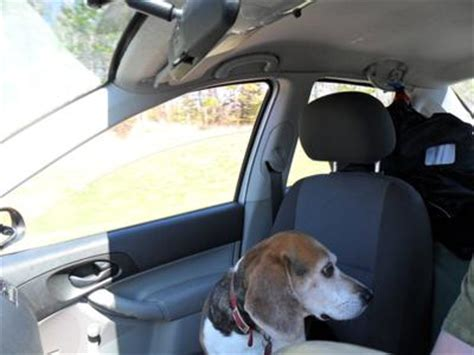 golden retriever lung cancer symptoms my beagle tipper is dying of lung cancer