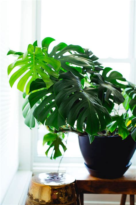tips tricks for caring for popular indoor plants from