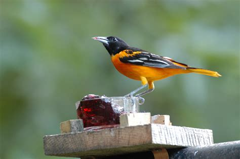 picture of a oriole bird baltimore oriole